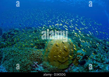 Coloridos arrecifes escena con pescados amarillos y verde coral de cuerno de ciervo, Isla de Pascua, Australia.