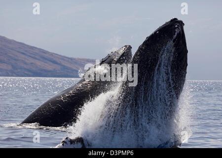 Infringir la ballena jorobada, Megaptera novaeangliae, con antecedentes en el oeste de Maui, Hawaii.