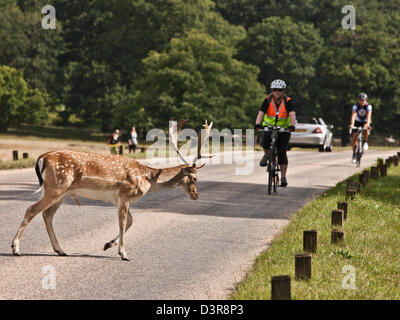 Los ciclistas en Richmond Park, con ciervos, REINO UNIDO