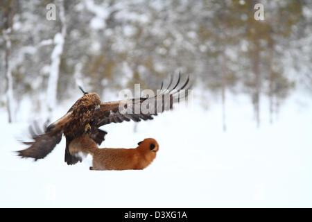 Águila Real (Aquila chrysaetos) atacando el Zorro Rojo (Vulpes vulpes). Fotografiado en Västerbotten, Suecia.