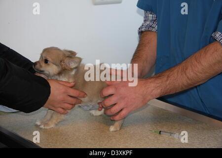 Los veterinarios examinan un perro Chihuahua