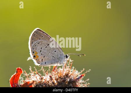 Cola oriental azul (Cupido) butterfly comyntas aislado sobre fondo verde Foto de stock