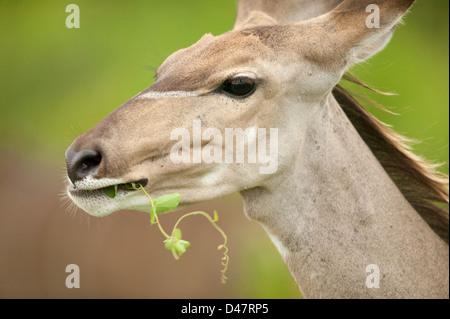Cierre de disparo a la cabeza de una hembra de kudu mayor (Tragelaphus strepsiceros) masticar contra un telón de fondo bush verde limpio