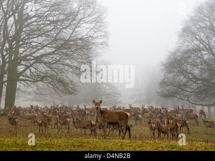 Muchos ciervos en Windsor Great Park, reino unido