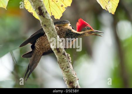 Un pájaro carpintero crestado carmesí (Campephilus melanoleucos)