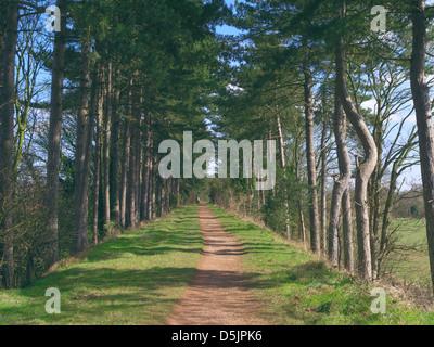 Avenida de Scot de Pinos (Pinus sylvestris) a lo largo del South Staffordshire Railway caminar, Himley, Staffordshire, Inglaterra, Reino Unido.