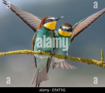 Abeja europea eaters , Merops apiaster