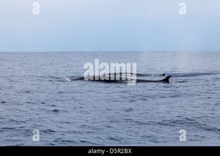 Una ballena de aleta, Balaenoptera physalus, y su cría nadando en el océano Pacífico frente a Baja California, México