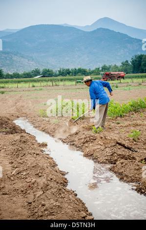 Trabajador de granja tendiendo el riego por inundaci n en for Viveros de arboles frutales en chihuahua