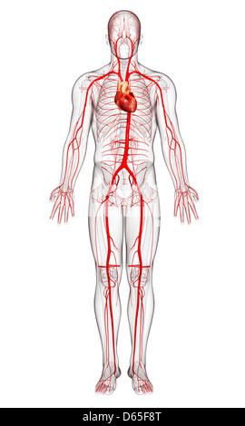 Vista posterior de un corazón normal y arterias Foto & Imagen De ...