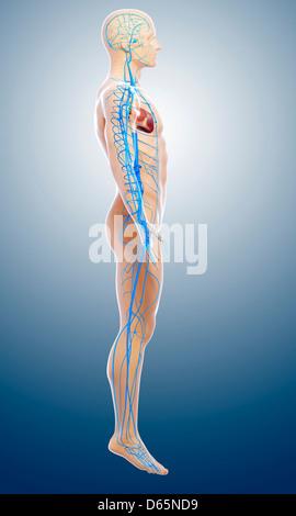 Las venas y arterias, el sistema de circulación de la sangre humana ...
