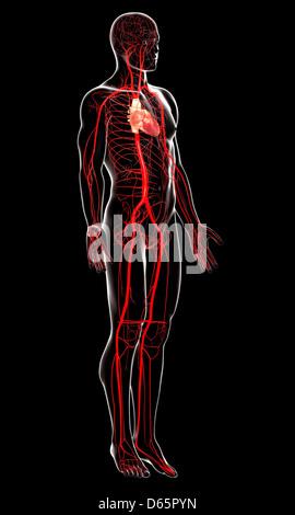 Arterias humanas, arte Foto & Imagen De Stock: 55435803 - Alamy