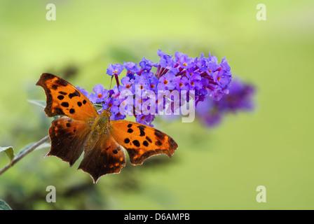 Signo de Interrogación (mariposa Polygonia interrogationis) en mariposa púrpura flores de Bush Foto de stock