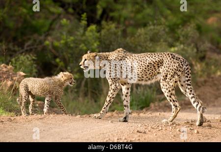 Una madre guepardo y joven cachorro. Phinda Game Reserve, Sudáfrica. Foto de stock