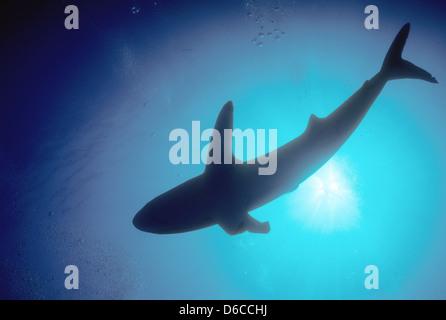 Tiburón sedoso,Carcharhinus falciformis hasta 4m,Mar Rojo Dec 1986 Conversiones de diapositivas,Egipto,península Sinaí,Sudán safari en barco, buceo