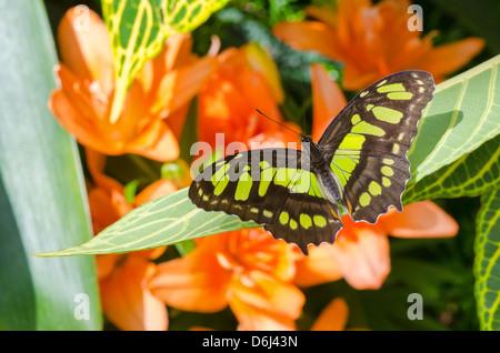 Malaquita (Siproeta stelenes) butterfly parado sobre una hoja