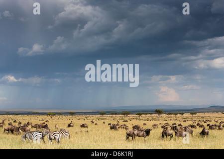 Los ñus comunes (el ñu azul) (GNU) (Connochaetes taurinus) sobre la migración, la Reserva Nacional de Masai Mara, Foto de stock