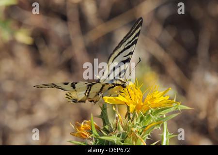 Escasa especie butterfly (Iphiclides podalirius) alimentando desde espinoso cardo sow (Sonchus asper), provincia de Zadar, Croacia