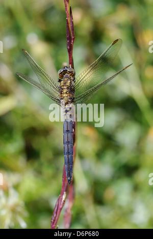 Macho joven keeled skimmer dragonfly (Orthetrum coerulescens), apoyándose en el tallo, Lesbos (Lesbos), Grecia, Europa