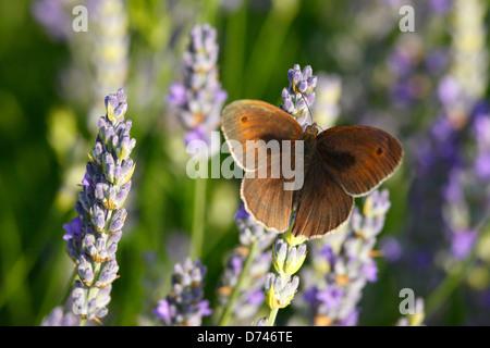 La lavanda en la isla de Hvar, Croacia, pradera mariposa marrón