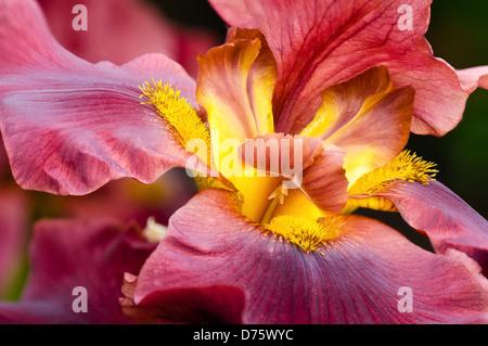 Primer plano de la flor de Iris rojo profundo