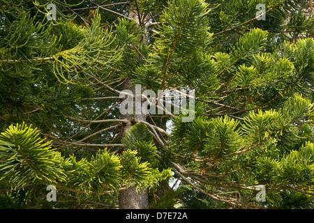 Sin floración pinos encontrados en la Makiki Loop Trail en la isla de Oahu, Hawaii