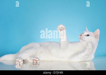 Gato blanco puro con ojos azules en buen humor contra el fondo azul.