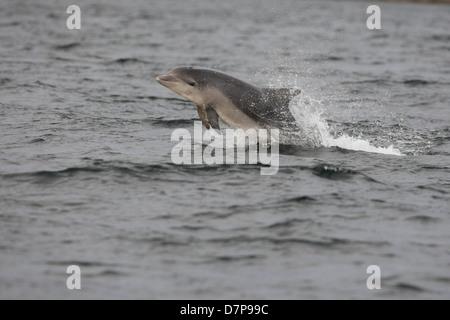 Ternero delfín mular (Tursiops truncatus) infracción en el Moray Firth. Escocia. Foto de stock