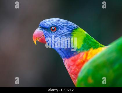 Colores brillantes rainbow lorikeet retrato de perfil