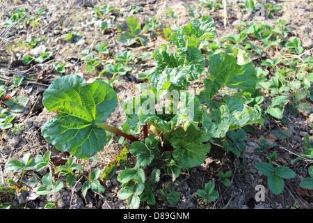 Jóvenes de ruibarbo progrown brotan del suelo en la primavera