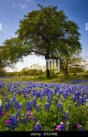 Y Bluebonnets árboles cerca de Kingsland en el Texas Hill Country