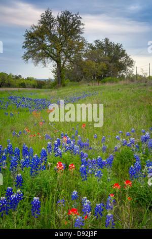 Y pincel Bluebonnets flores cerca de llano en el Texas Hill Country