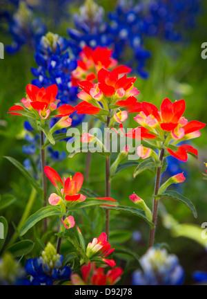 Y pincel Bluebonnets flores cerca de Fredericksburg en el Texas Hill Country