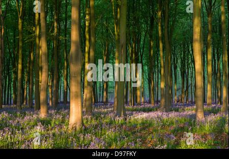 Las campánulas azules que crecen en un bosque de hayas, West Woods, Lockeridge, Wiltshire. Primavera