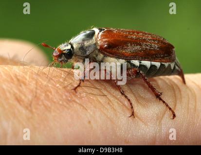 Cierre muy detallado de un macho Cockchafer a.k.a. Bug (Melolontha melolontha Mayo) posando en la mano y de los dedos, 4 imágenes en serie