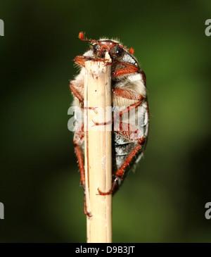 Macho a.k.a. Cockchafer Bug (Melolontha melolontha Mayo) subiendo por un pedúnculo, mostrando la cabeza y antenas de plumas