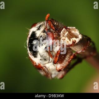 Macho Cockchafer Eueopean a.k.a. Bug (Melolontha melolontha Mayo) ascendiendo, visto de arriba abajo, la cabeza y las antenas de plumas