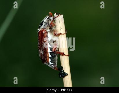Cierre muy detallado de un macho Cockchafer a.k.a. Bug (Melolontha melolontha Mayo)