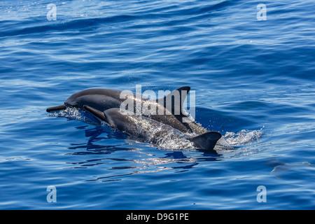 Hawaiian delfines (Stenella longirostris), canal AuAu, Maui, Hawai, Estados Unidos de América
