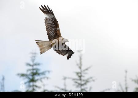 Un tagged milano real (Milvus milvus) un raptor airborne en vuelo llevando un bocado de carroña en sus garras.