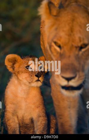 La madre de león con un cachorro de cerca al amanecer, Masai Mara, Kenya