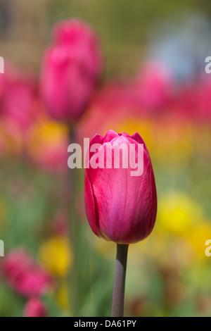 Primer plano de tulipanes en un jardín en Harrogate