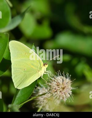 Nubes de azufre (Phoebis sennae butterfly) alimentándose de botón floral de Bush