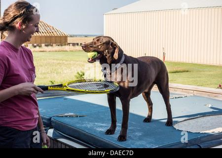 Un perro Labrador Retriever chocolate tiene una pelota de tenis en su boca mientras jugando a la pelota con un joven adulto. Ee.Uu..