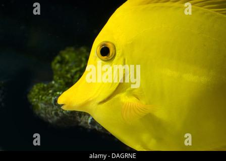 Amarillo tang (Zebrasoma flavescens), Retrato