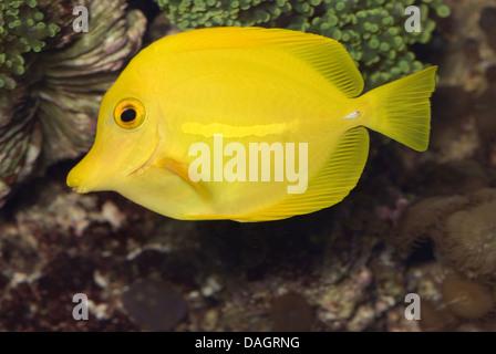 Amarillo tang (Zebrasoma flavescens), natación