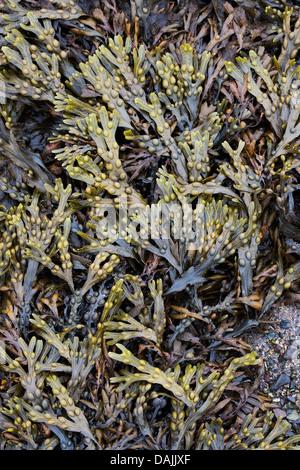 El Fucus vesiculosus. Algas Bladderwrack