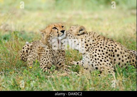 El guepardo (Acinonyx jubatus), hembra grooming cub, varias semanas Foto de stock
