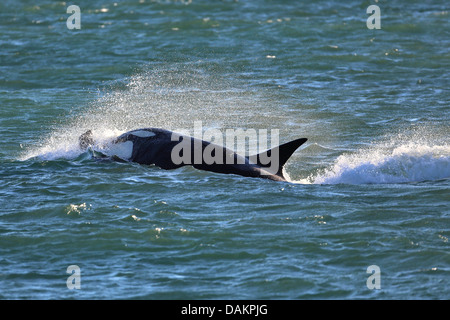 Orca, gran, grampus orca (Orcinus orca), atacar, Argentina, Patagonia, Valdes