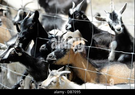 Bebé cabras esperando ser alimentado en el Aloha zoológico en Cameron, Carolina del Norte.
